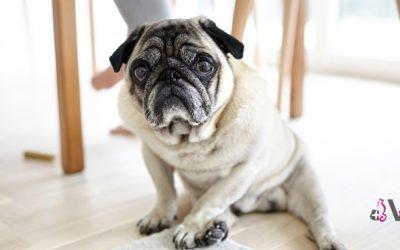 Cuidados básicos para un perro mayor