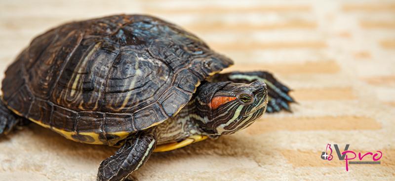 Consejos y recomendaciones para cuidar a una tortuga de tierra o agua